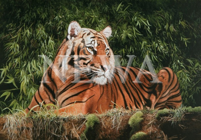 Contemplation - Tiger by Jacqueline A. Gaylard