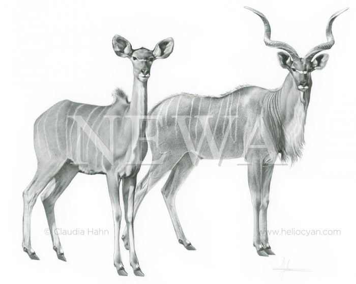 African Kudu by Claudia Hahn