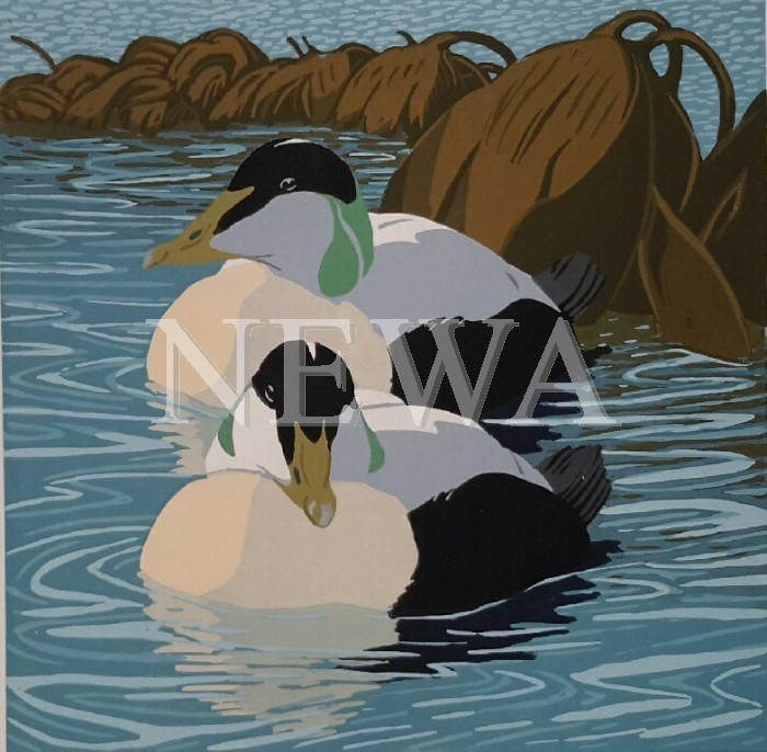 Eiders by John Hatton