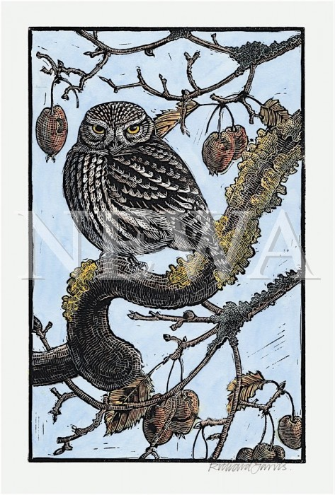 Crabby Little Owl by Richard Jarvis
