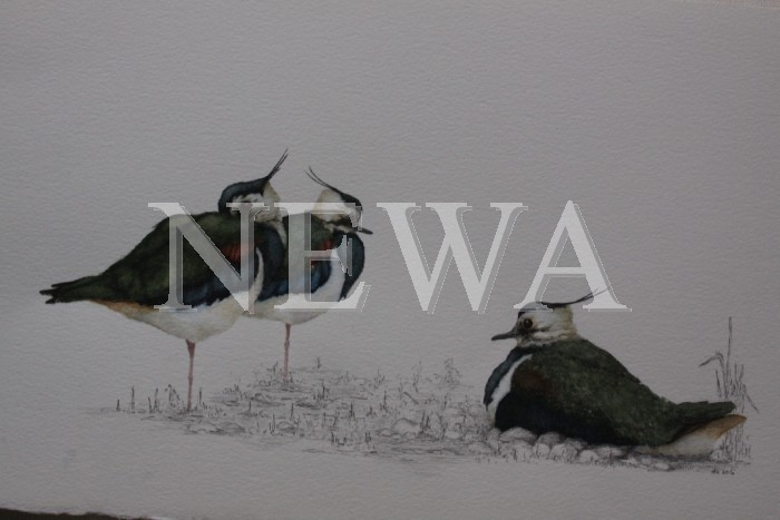 Lapwings 3 by David Knight