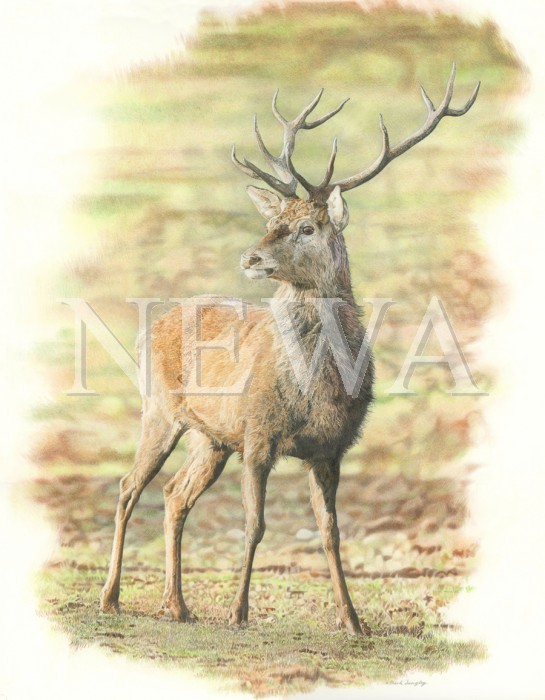 Red Deer Stag by Mark Langley