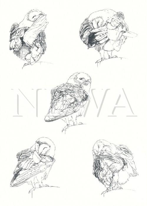 Barn Owl by Sara C Lee