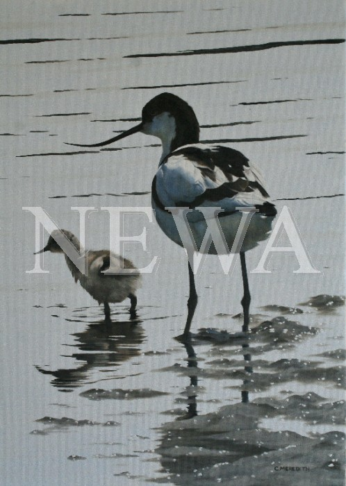 Avocet And Young by Clive Meredith