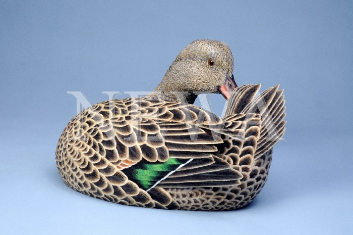 Female Green Winged Teal by Philip Nelson