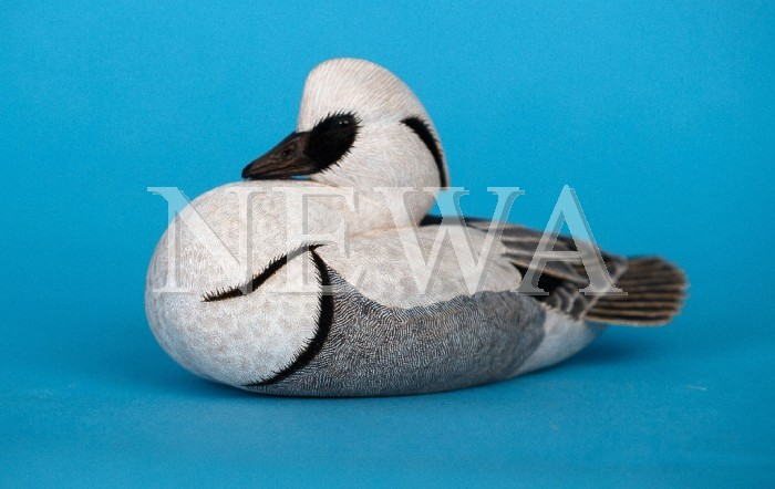 Miniature Courting Smew by Philip Nelson