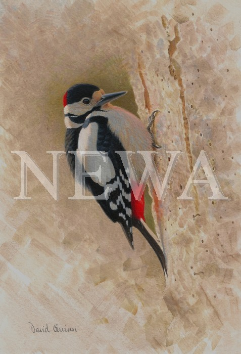Great Spotted Woodpecker by David Quinn