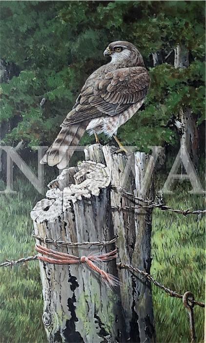 Sparrowhawk by Marion Tuffrey