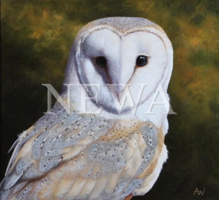 Barn Owl by Anthony Webb