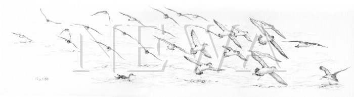 Shearwaters by Colin Woolf