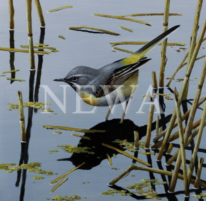 Grey Wagtail by Terance James Bond