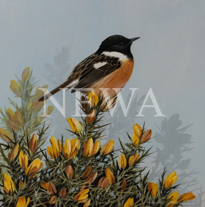 Stonechat by Terance James Bond
