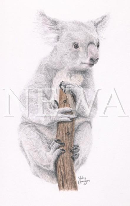Koala by Maxine Bradley