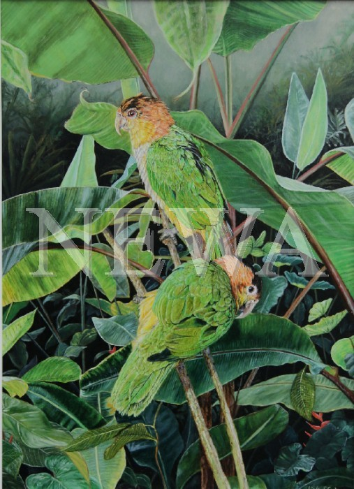 Black Headed Caiques by Linden Cooke