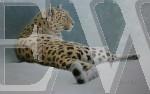 The Observer Amur Leopard by Carina Prigmore