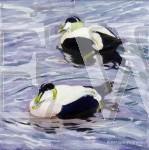 2 Eider Ducks by Ron Stephens