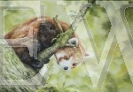 Red Panda by Sharon Wagstaff