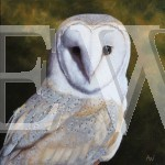 Barn Owl by Anthony Webb