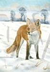 Fox by Jacqui Chilcott